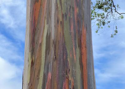 """Ann Ginsburgh Hofkin, """"Rainbow Eucalyptus"""" Photograph 22x16 $850"""