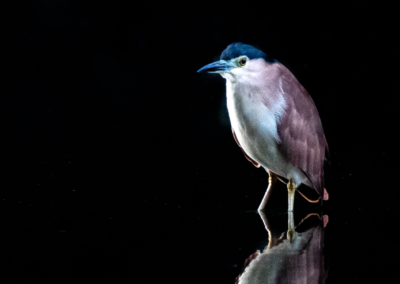 "Candace Swimmer, ""Nankeen Heron at Dawn"" Photograph 11X14 $200"